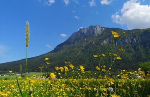 Blumen im Frühling am zahmen Kaiser