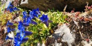 Enzian Blumen in Steingarten